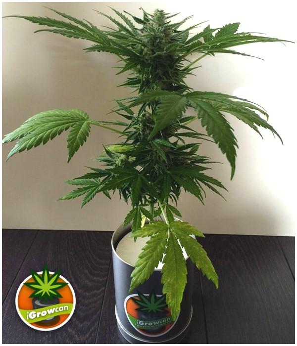 Indoor] Quand passez ma plante en floraison? / PsychoACTIF